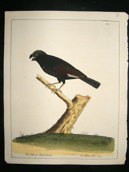 Albin: 1730's Hand Colored Bird Print. The Black Bull Finch | Albion Prints